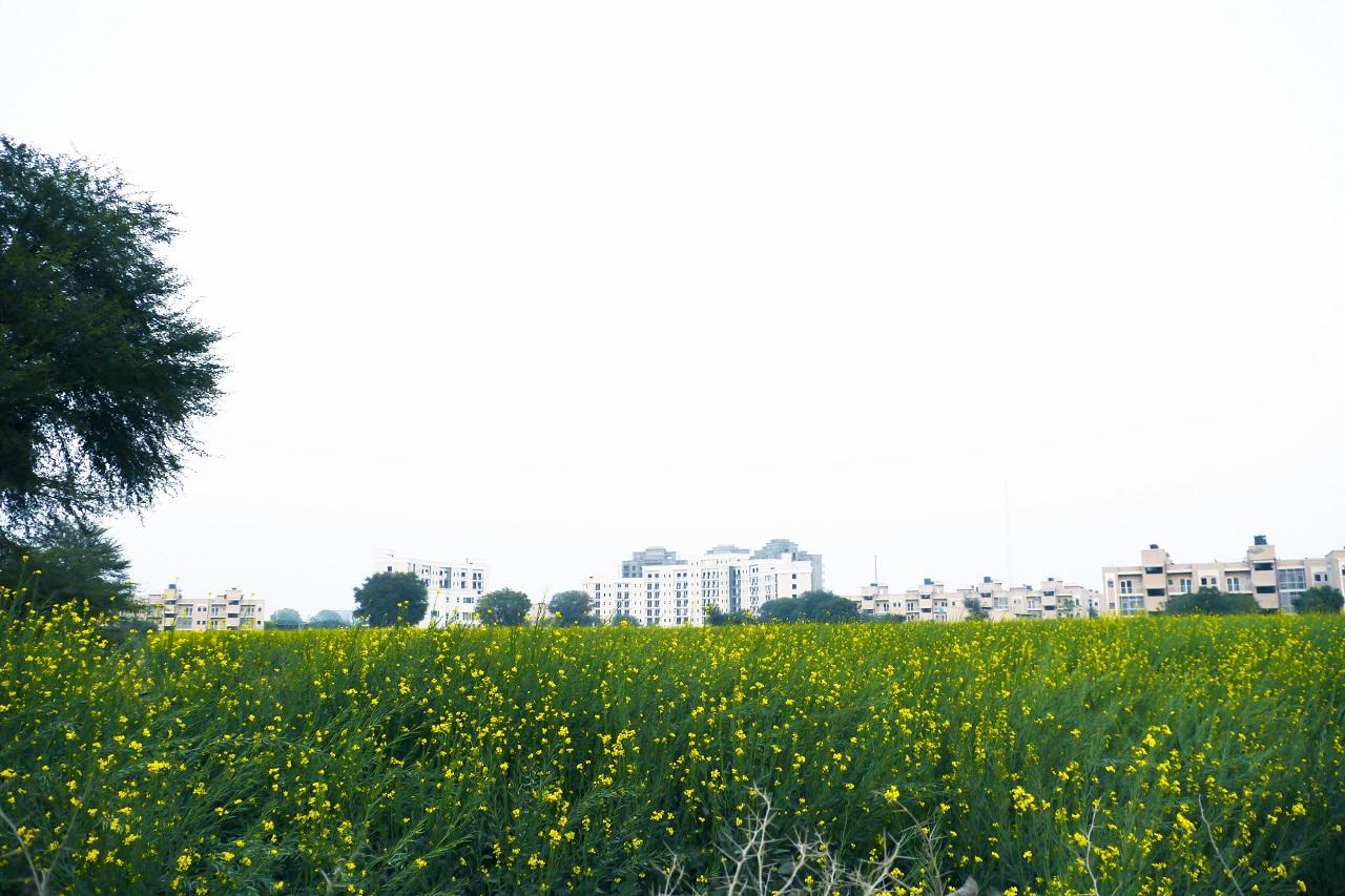 近所にあるマスタードのお花畑